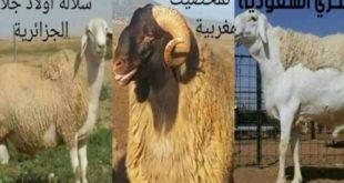 أبرز 27 سلالة خرفان في المغرب بالعالم العربي وعبر العالم + (صور )